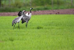 Pair of Grey Crane birds on grassy wetlands during a spring nest. Ing period Stock Images