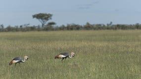 Pair of Grey Crowned Cranes, Balearica regulorum stock photography