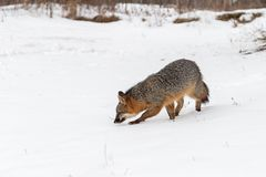 Pair of Grey Fox Urocyon cinereoargenteus Walks Left Through S Royalty Free Stock Photo