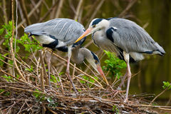 Pair of grey herons Royalty Free Stock Photo