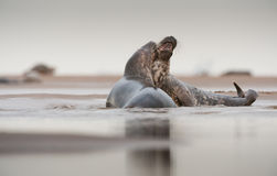 Grey Seal courtship. A pair of Grey Seal (male right, female left) begin their courtship ritual on the beach at Donna Nook in Lincolnshire,UK on a very dull and Royalty Free Stock Images