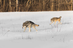 Pair of  Grey Wolves Canis lupus Run Across Snowy Field Stock Photo
