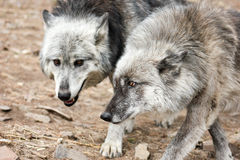 Pair of grey wolves Royalty Free Stock Image