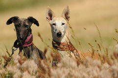 Pair of greyhounds in the field Stock Photography