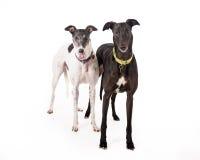 Pair of Greyhounds Royalty Free Stock Photos