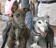 A pair of rescue greyhounds  Stock Photo