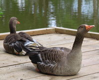 Pair of Greylag Geese stock images