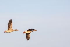 Pair with Greylag Geese flying Royalty Free Stock Photography