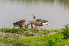 Pair of Greylag Goose (Anser-anser) with chicks. Pair of Greylag Goose (Anser-anser) on the embankment Royalty Free Stock Photos