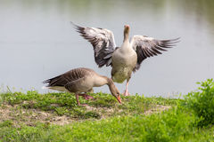 Pair of Greylag Goose (Anser-anser). On the embankment Stock Photos