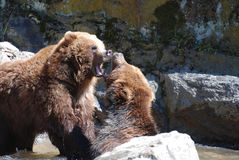 Pair of Grizzly Bears Biting at Each Other. Pair of grizzly bears with both of their mouths wide open Stock Images