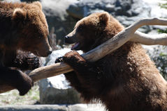 Pair of Grizzly Bears Rearing up on a Log. Pair of grizzly bears planning to battle while standing up on a log Royalty Free Stock Photo