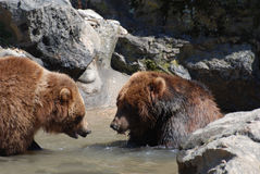 Pair of Grizzly Bears Wading in a Shallow River Royalty Free Stock Images