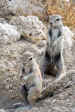 Pair of ground squirrels Royalty Free Stock Photo
