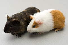 Pair of guinea pigs Stock Photo