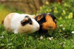 Pair of guinea pigs Royalty Free Stock Photo