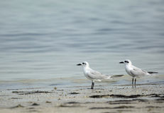 A pair of gull-billed tern Stock Photos