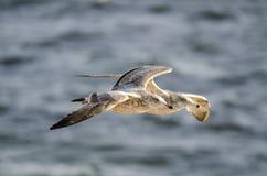 Pair of gulls in flight Stock Photos