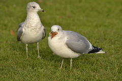 Greedy seagull. Pair of gulls on green grass with one greedy seagull swallowing large chunk of food Royalty Free Stock Photography