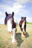 Pair of Gypsy Vanner Horses Royalty Free Stock Images