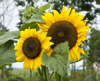Pair of hally sunflowers in the garden with green leaves in back Stock Photos