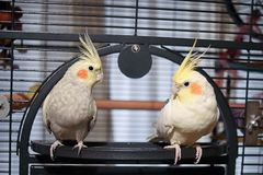 Pair of Hand Reared Cockatiels Royalty Free Stock Photos