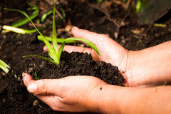 Pair of Hands Planting Royalty Free Stock Images