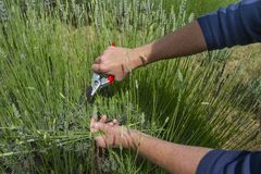 Lavender is harvested with clippers. royalty free stock images