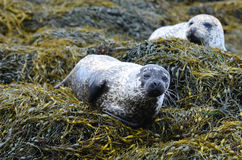 Pair of Harbor Seals on Seaweed Royalty Free Stock Photos