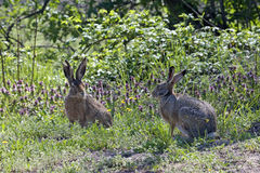 Pair of hares during the breeding season. Pair of hares that looked at each other during the breeding season Royalty Free Stock Image