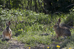 Pair of hares (Lepus europaeus) during breeding. Couple of hares among the bushes in spring, during the breeding season stock image