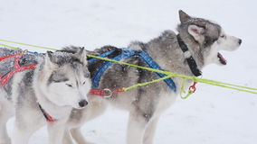 A pair of harnessed sled dogs ready to start. For Sled Dog Race stock video footage