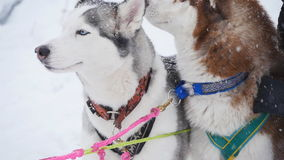 A pair of harnessed sled dogs ready to start. For Sled Dog Race stock video