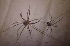 Pair of harvest men arachnids Royalty Free Stock Images