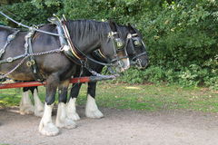 Pair of Heavy Horses. A Magnificent Pair of Heavy Horses in a Harness Stock Image