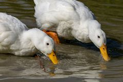 Pair of heavy white Long Island Pekin Ducks searching for food stock images