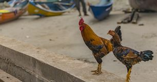 Chickens Male and Female - Close up with beach background royalty free stock photos