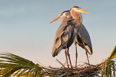 Pair of herons Royalty Free Stock Images