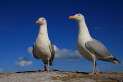 A pair of herring gulls Royalty Free Stock Image