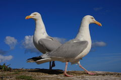 A pair of herring gulls Royalty Free Stock Photography