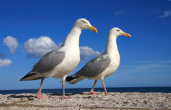 A pair of herring gulls Stock Images