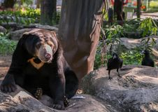 Pair of Himalayan bears sitting on a rock next to the crows. Cute animals in the zoo. 2011.04.28, Bangkok, Thailand. pair of Himalayan bears sitting on a rock royalty free stock photos