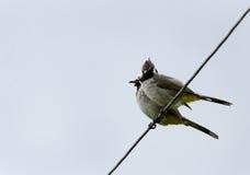 A pair of Himalayan bulbul. Himalayan bulbul is a species of  songbird Royalty Free Stock Image