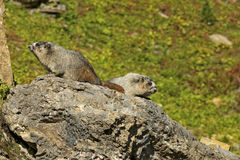 Pair of Hoary Marmots on a Rock Stock Photos