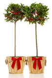 A Pair of Holly Trees in Wooden Buckets Stock Photography