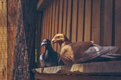 Pair of homing pigeons Stock Photography