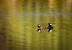 Pair of Hooded Mergansers rest during migration Stock Image