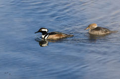 Pair of Hooded Mergansers Swimming in a Cold Slushy Winter River Stock Photography