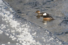 Pair of Hooded Mergansers Swimming in a Cold Slushy Winter River Royalty Free Stock Images