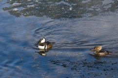 Pair of Hooded Mergansers Swimming in a Cold Slushy Winter River Stock Image